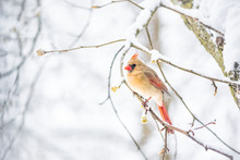 Closeup Of One Female Red Northern Cardinal, Cardinalis, Bird Sitting Perched On Tree Branch During Heavy Winter Snow Colorful In Virginia, Snow Falling