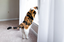 Funny Calico Cat Leaning On Wi...