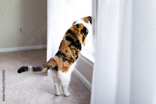Funny calico cat leaning on windowsill window sill standing on hind legs trick l Canvas Print