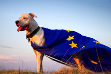Dog Guard Of The European Union. Superdog. Portrait Of Dogo Argentino Dog With EU Flag During A Golden Hour