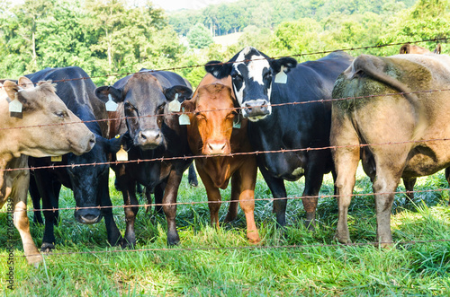 Many jersey cows staring through wire fence with number tags in ears Wallpaper Mural