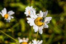 One White Daisy Chamomile Flower Wildflower Macro Closeup With Green Fly Bug