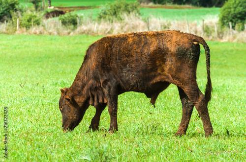 Fotografia  beef cattle on green field in Brazil