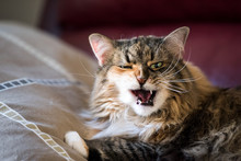 Fluffy Maine Coon Cat Closeup Hungry, Funny, Lying On Living Room Red Couch In Home With Paw On Pillow Sleepy, Green Eyes, Open Mouth, Tongue, Teeth