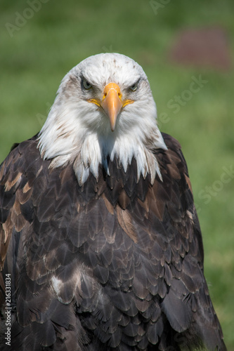 In de dag Eagle Bald Eagle (haliaeetus leucocephalus) is a bird of prey found in North America.