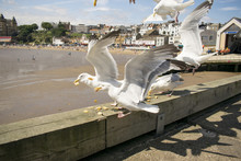 Scarborough Seagulls, North Yorkshire, England, United Kingdom