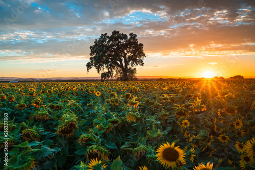 Poster Marron chocolat Sunflower Field at Sunset