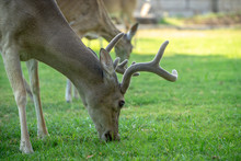 Close Up Of Texas Hill Country Whitetail Deer Eating