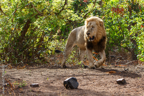 Foto op Plexiglas Leeuw Dominant male lion walking around in the Kruger National Park in South Africa
