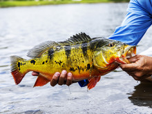 Exotic Peacock Bass