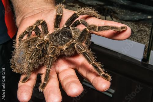 Photo Tarantula in the Hand