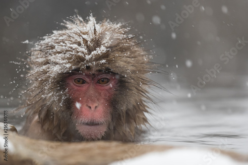 Spoed Foto op Canvas Aap Jigokudani Monkey Park , monkeys bathing in a natural hot spring at Nagano , Japan
