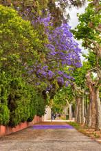 A Purple Jacaranda Tree Among Green Trees Along A Sidewalk With The Purple Petals On The Ground Below It