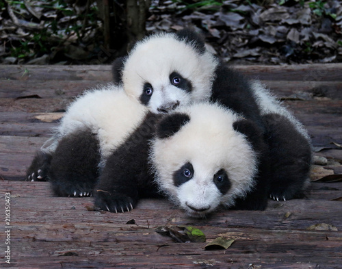 Stickers pour portes Panda Baby Giant Pandas Playful and adorable