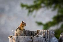 Chipmunk Or Tree Stump