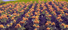 Surrealism Banner Autumn Orange Flowers On The Land Of Tagetis Bloom In A Row.
