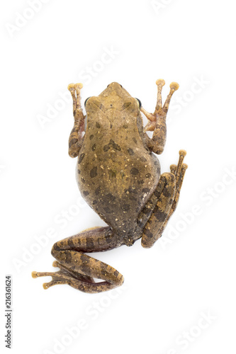 Image of Frog, Polypedates leucomystax,polypedates maculatus on a white background.  Reptile. Animal.