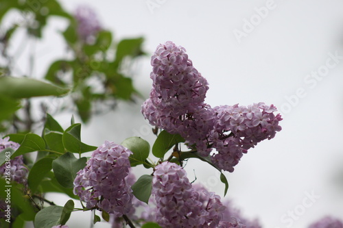 Foto op Canvas Lilac Lilacs