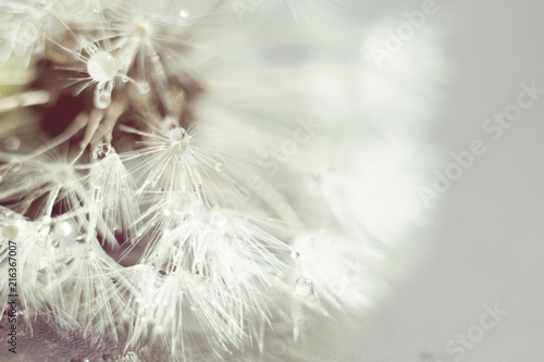 White Dandelion with Water Drops Retro
