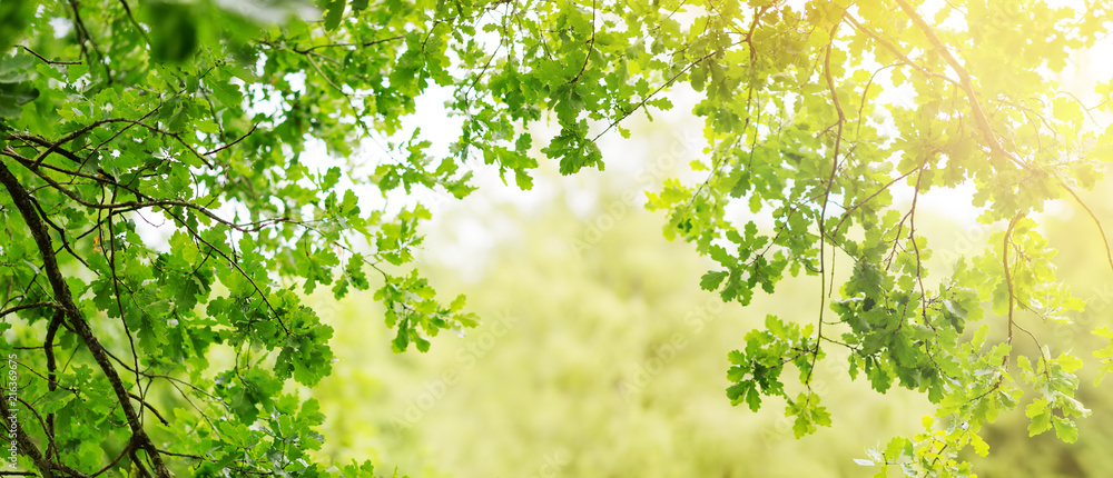 Oak leaves background in summer with beautiful sunlight. Green foliage