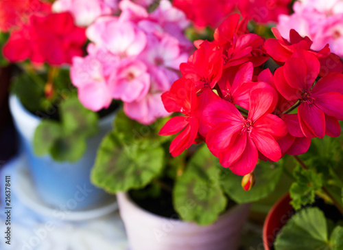 Fototapeta Red and pink geranium flowers in pots, close-up, copy space, beauty of gardening
