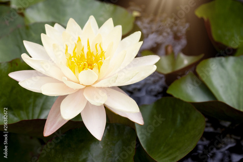 Canvas Prints Water lilies Beautiful blooming flowers of Lotus flower yellow mix pink color on the water pot.