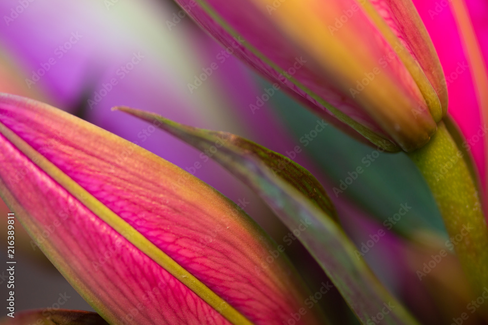 Fototapeta Fuchsia Asiatic lillies, macro