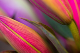 Fuchsia Asiatic lillies, macro