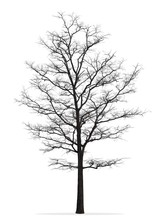 Tree Without Leaf Isolated On ...