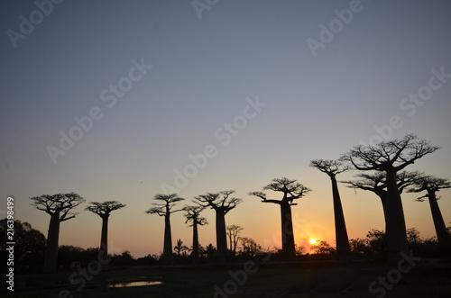 Keuken foto achterwand Baobab Sunset in Madagascar beyond baobab trees