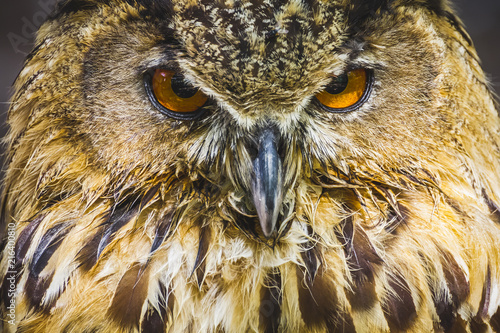 Keuken foto achterwand Uil raptor, beautiful owl with intense eyes and beautiful plumage