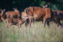 Young Red Deer Nursing From Mother In Meadow.