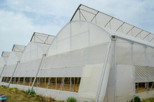 A Row Of Plastic Covered Bow House Tents For Raspberry Production