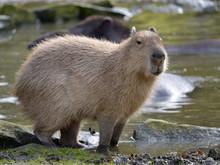 Closeup Capybara (Hydrochoerus...