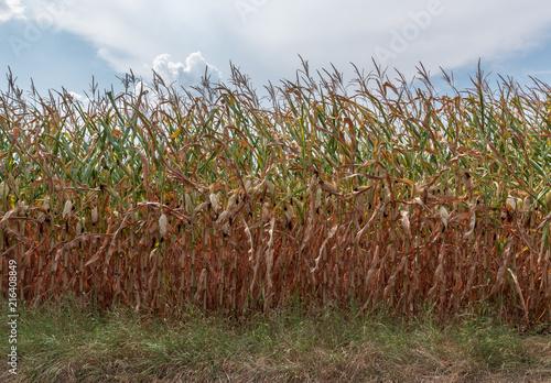 Fotografie, Obraz  Trockenheit in der Landwirtschaft - Trockenes Maisfeld
