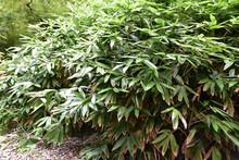 Bambou Nain