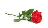 Piękny czerwieni róży kwiat na białym tle