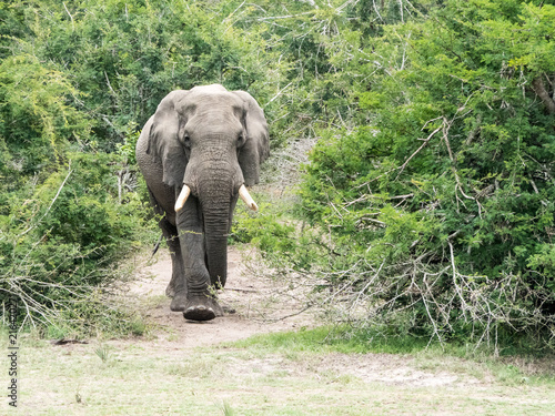 Foto op Aluminium Olifant An African Elephant emerges from the bush in Tembe Elephant Park, South Africa