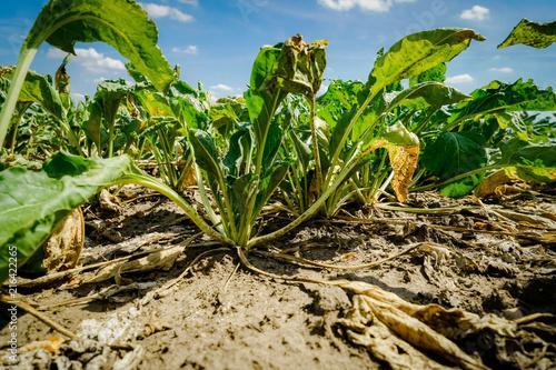 Valokuvatapetti Trockenheit - Dürre, kümmernde Zuckerrüben durch Wassermangel und Hitze