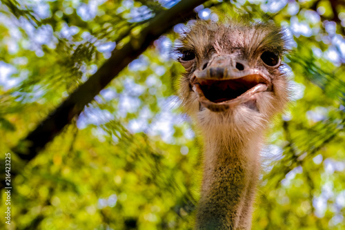 Foto op Plexiglas Struisvogel The ostrich or common ostrich (Struthio camelus) is either of two species of large flightless birds native to Africa.