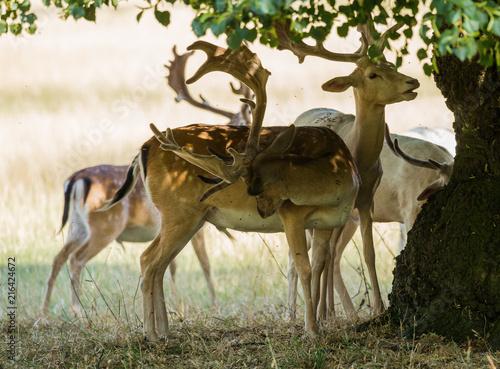Fototapeta Fallow Deer sheltering under a tree for shade from the hot sun. obraz