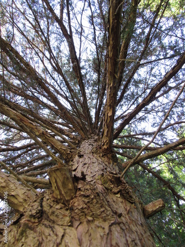 Fotografija  View looking up into a pine tree in the woods with many branches