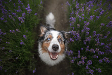 Happy Dog In Lavender Flowers....