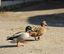 Ducks Walking Away