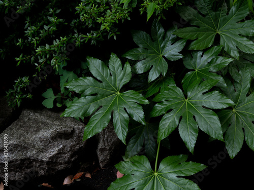 Fotografiet Green tropical leaves Fatsia or Japanese aralia (Aralia sieboldii o Fatsia japon