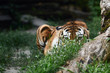 canvas print picture - Siberian tiger (Panthera tigris altaica), also known as the Amur tiger.