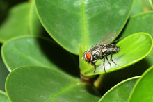 Close Up Fly On Green Leaf