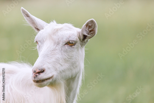 Poster Heuvel Young white goat grazing on a spring meadow.
