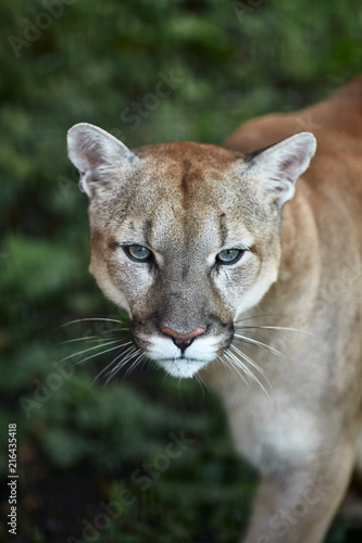 Spoed Fotobehang Puma Portrait of Beautiful Puma. Cougar, mountain lion, puma, panther, striking pose, scene in the woods, wildlife America