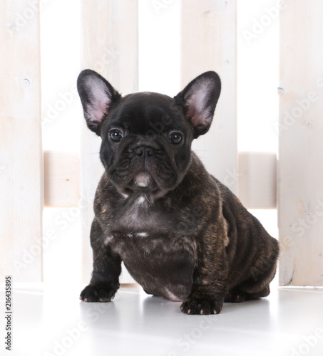 Foto op Plexiglas Franse bulldog seven week old french bulldog puppy